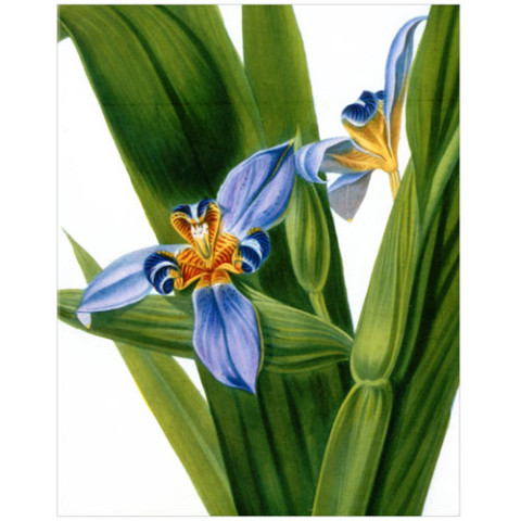 Irises  clamshell notecard box